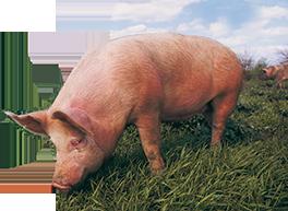cochon-bayonne